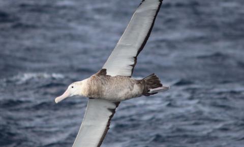 Albatroz-gigante está presente durante todo o ano em mares brasileiros
